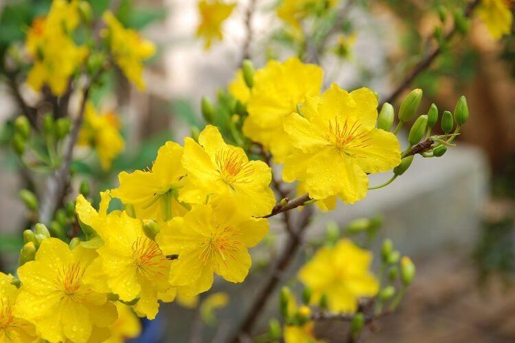 Những loài hoa mang đến may mắn nên trưng bày trong nhà ngày Tết